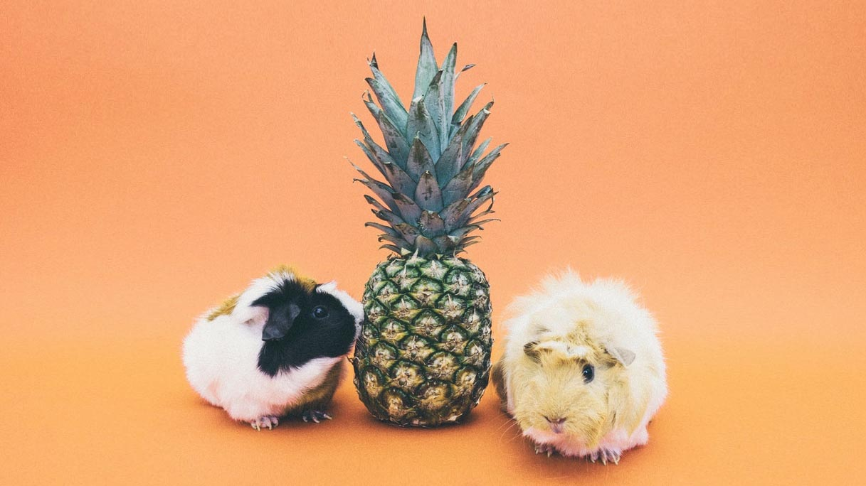Pineapple Guinea Pig Conspiracy